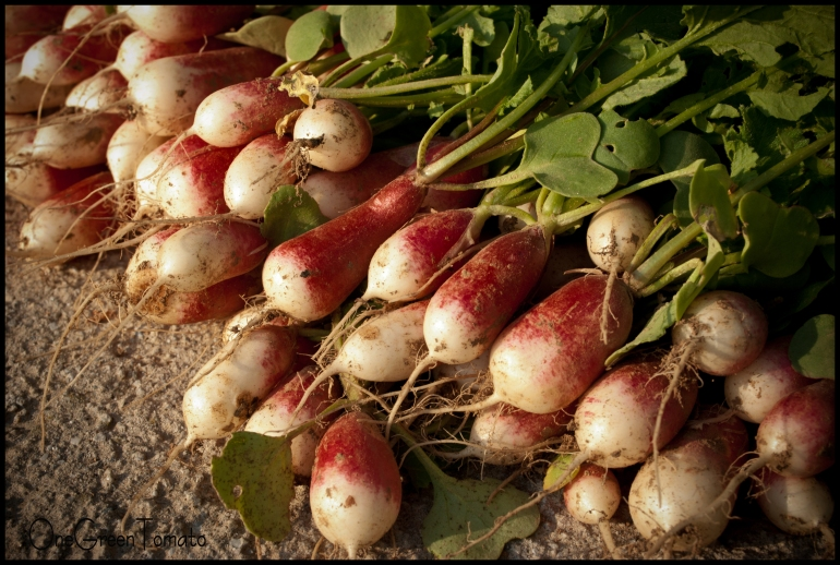 radishes wmbOGT